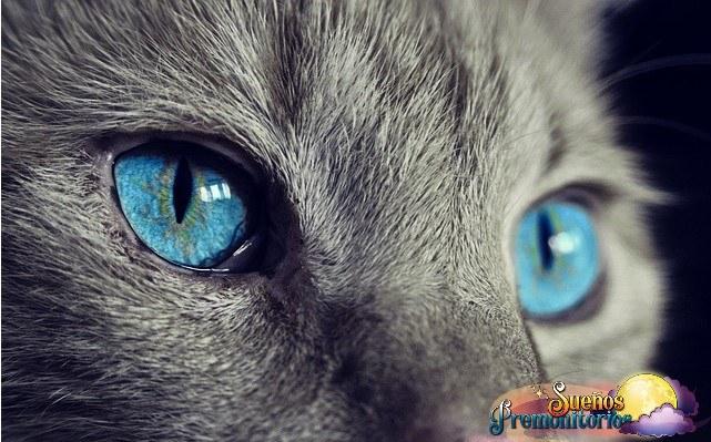gatos de ojos azules