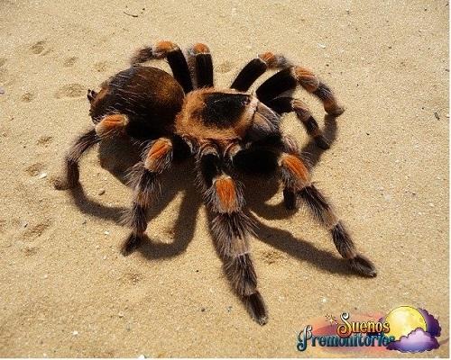 tarantula en los suenos