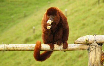 sonar con monos